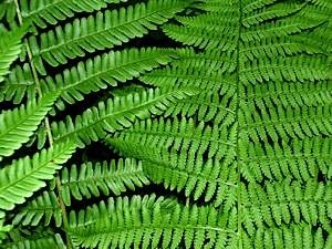 Common-male-fern-compared-with-lady-fern-2