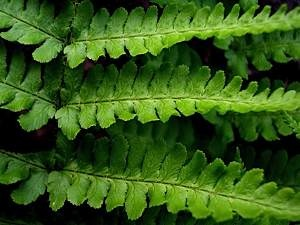 Mountain-male-fern-Dryopteris-oreades-closeup