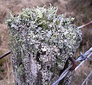Lichen festooned fence post